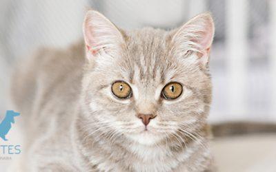 Toxoplasmosis en gatos: síntomas, tratamiento y prevención